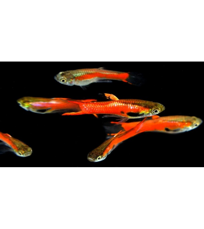 Poecilia wingei High Red