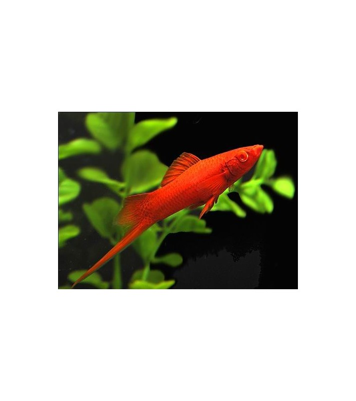 Xiphophorus helleri Swordtail Red Albino