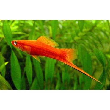Xiphophorus helleri Swordtail Red