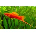 Xiphophorus helleri Swordtail Red