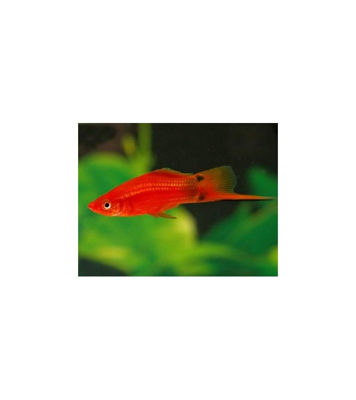 Xiphophorus helleri Swordtail Red Mickey Mouse