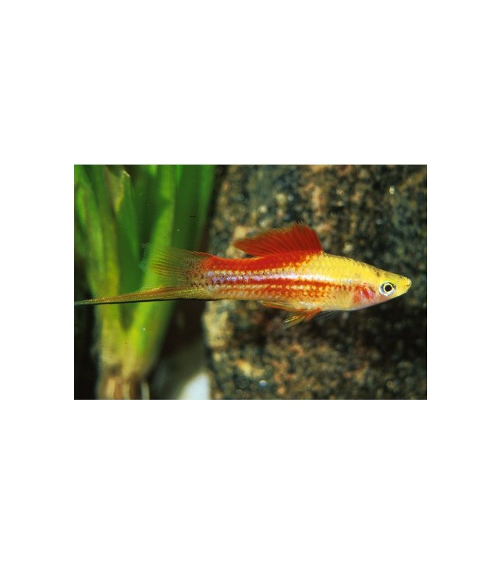 Xiphophorus helleri Swordtail Pineapple