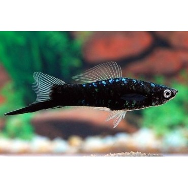 Xiphophorus helleri Swordtail Black