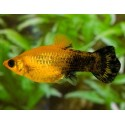 Poecilia sphenops Gold Dust Black
