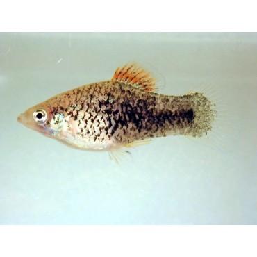 Xiphophorus maculatus Gold Pepper&Salt