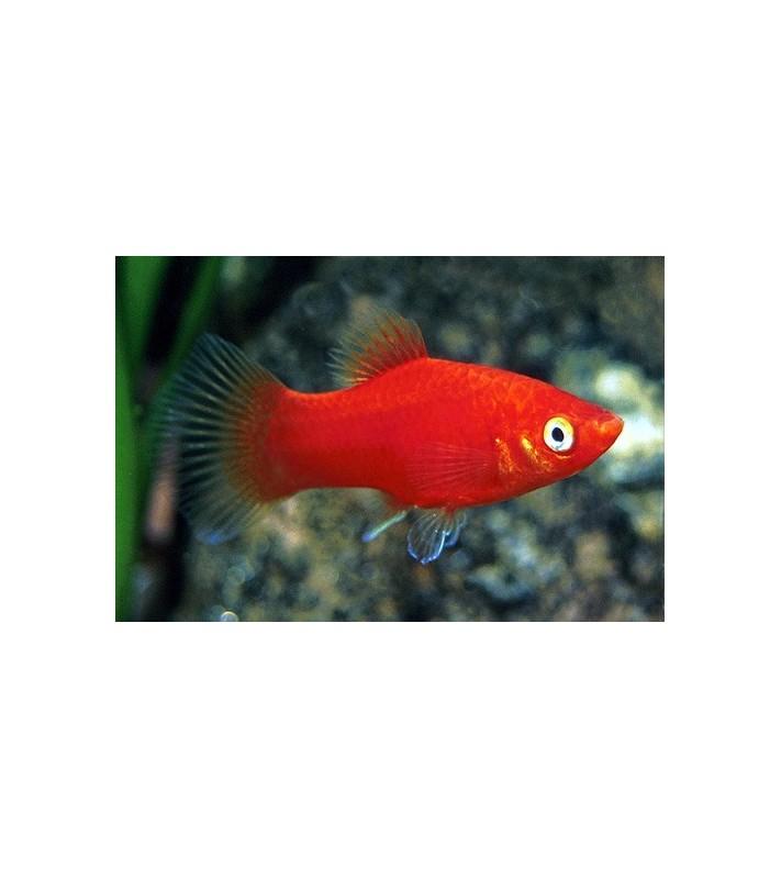 Xiphophorus maculatus Red