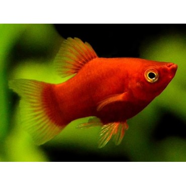 Xiphophorus maculatus Coral Red
