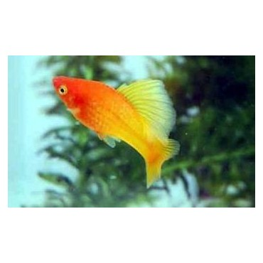 Xiphophorus variatus Highfin Orange