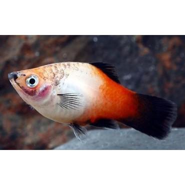 Xiphophorus maculatus Showa Tricolor