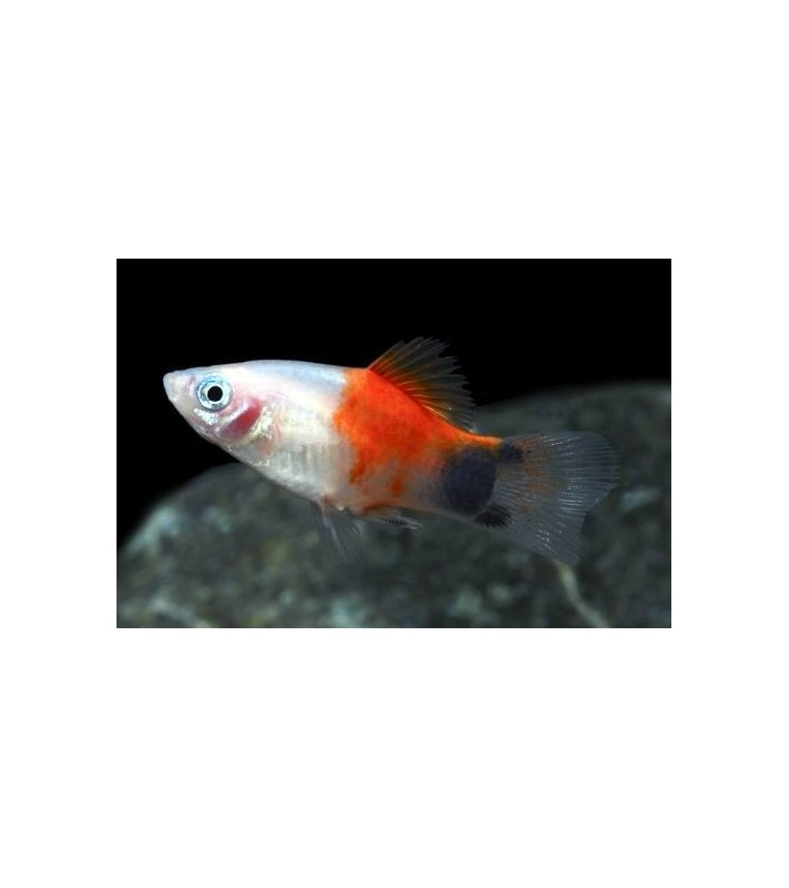 Xiphophorus maculatus Mickey Mouse White Red Top