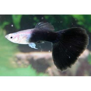 Poecilia reticulata Half Black