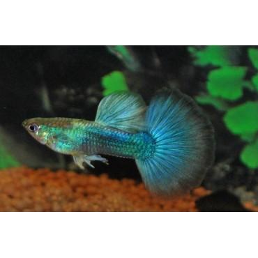 Poecilia reticulata Tuxedo Neon Blue