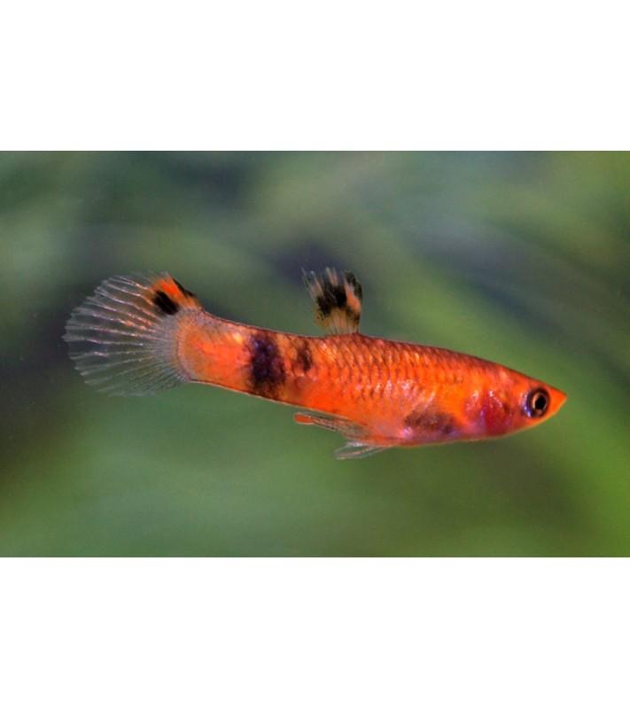Micropoecilia Picta Red