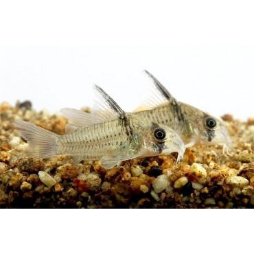Corydoras cf. armatus