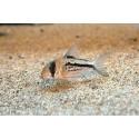 Corydoras axelrodi deckeri