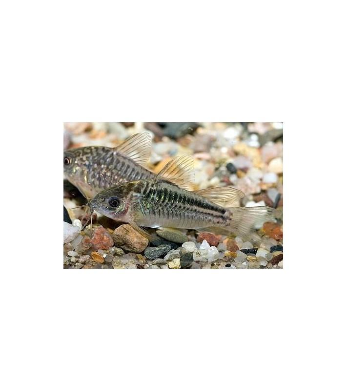 Corydoras elegans