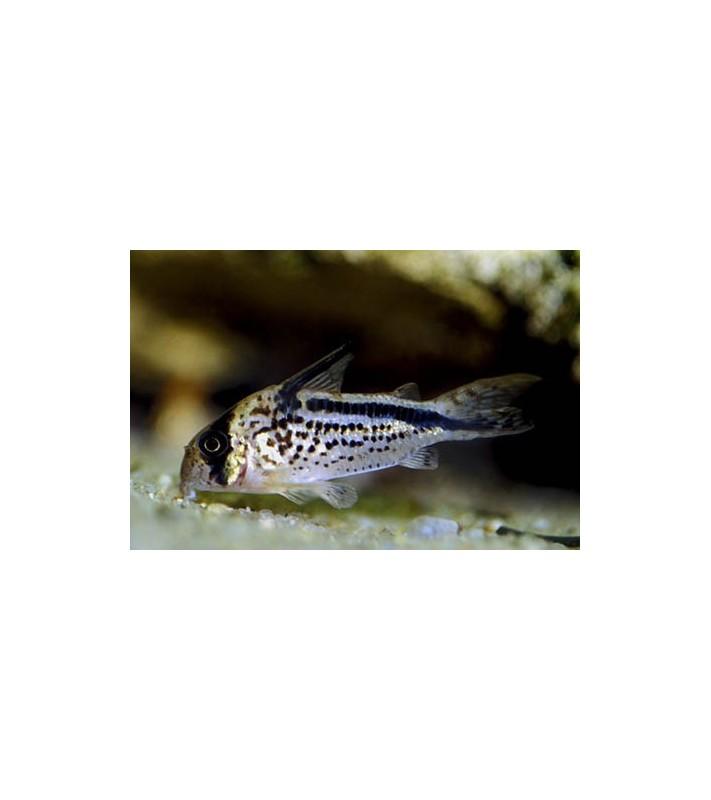 Corydoras loxozonus