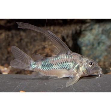 Corydoras paleatus longfin
