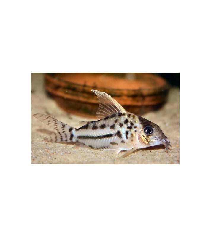 Corydoras pulcher