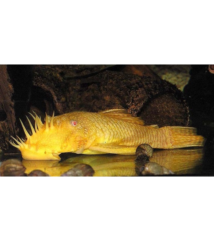 Ancistrus gold-albino
