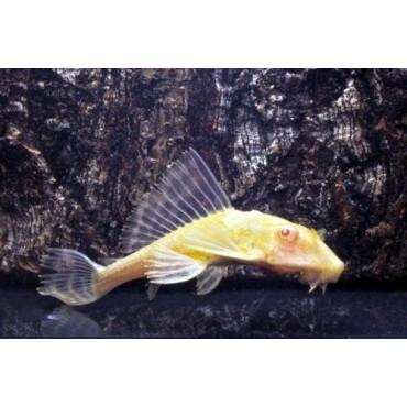 Glyptoperichthys gibbiceps albino