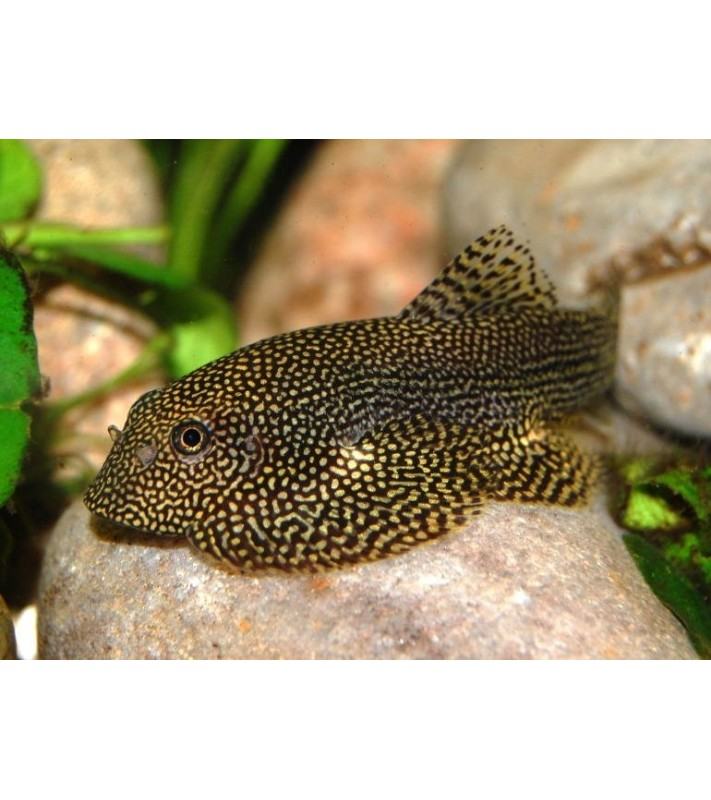 Sewellia sp. Spotted