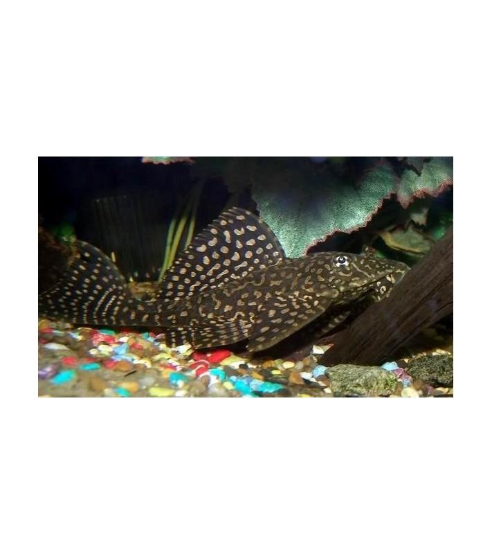 Glyptoperichthys joselimaianus
