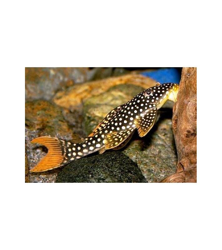 Scobiancistrus aureatus