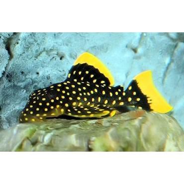 Baryancistrus sp. Golden Nugget