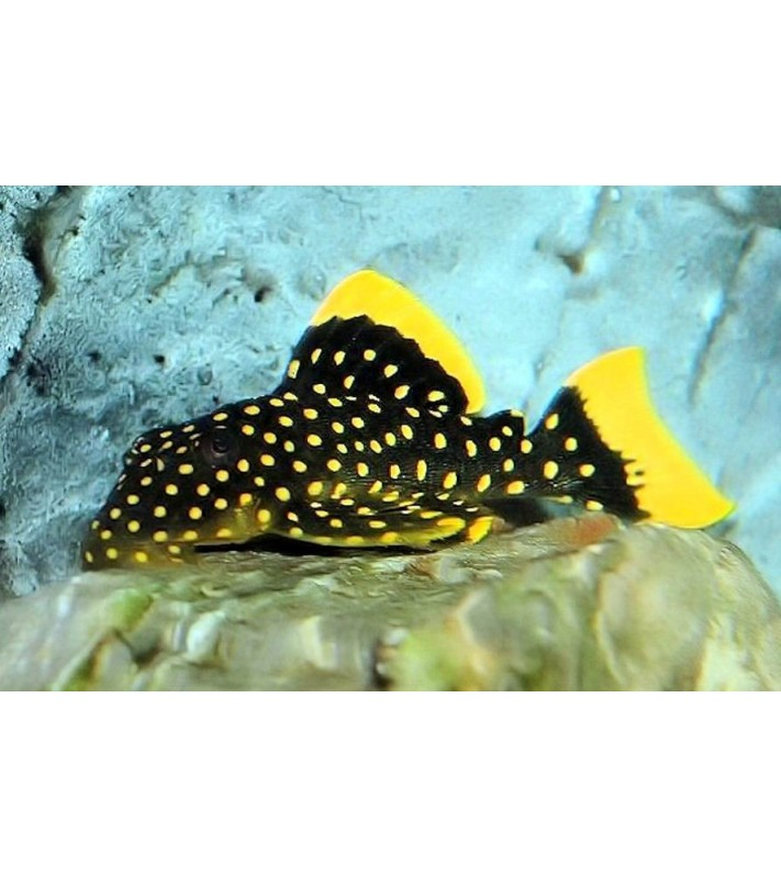 Baryancistrus sp. Golden Nugget