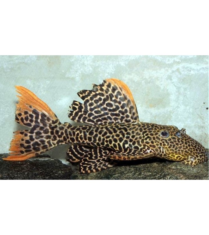 Pseudacanthicus sp. Leopard