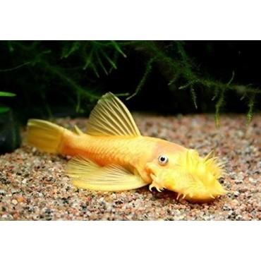 Ancistrus sp. Yellow Black Eye