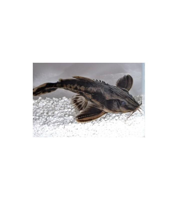 Megalodoras irwini