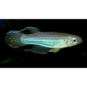 Aplocheilichthys luxophthalmus