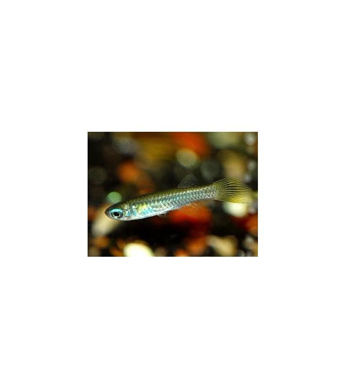 Aplocheilichthys normanni