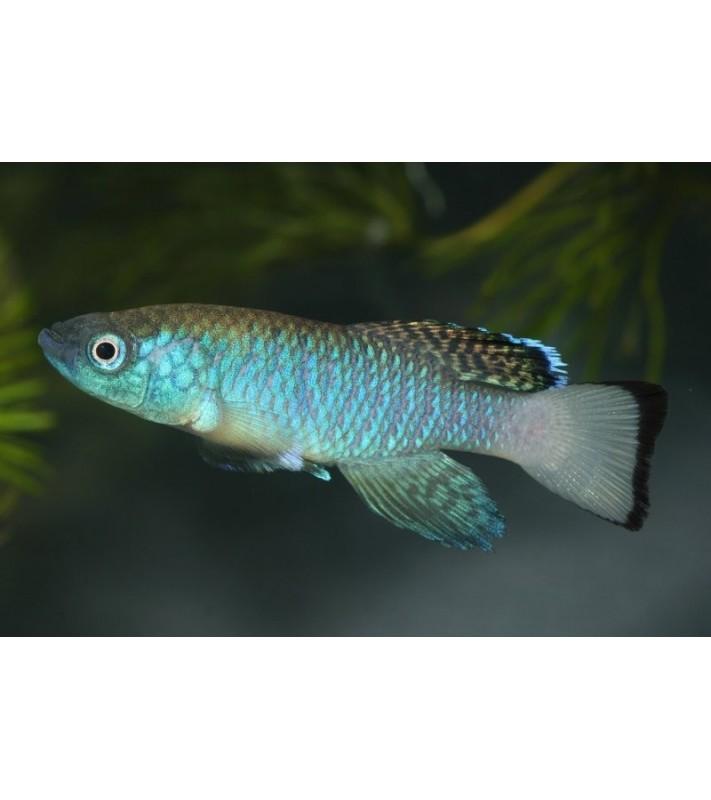 Nothobranchius guentheri blue