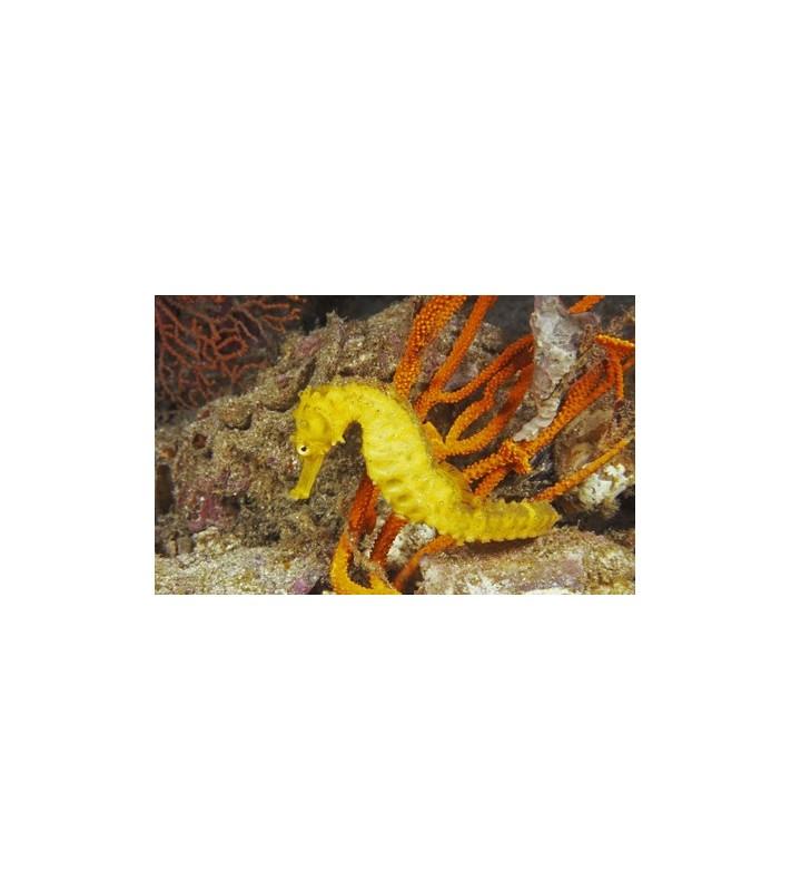 Hippocampus reidi yellow