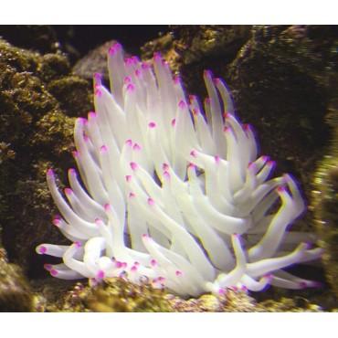 Condylactis gigantea pinktip