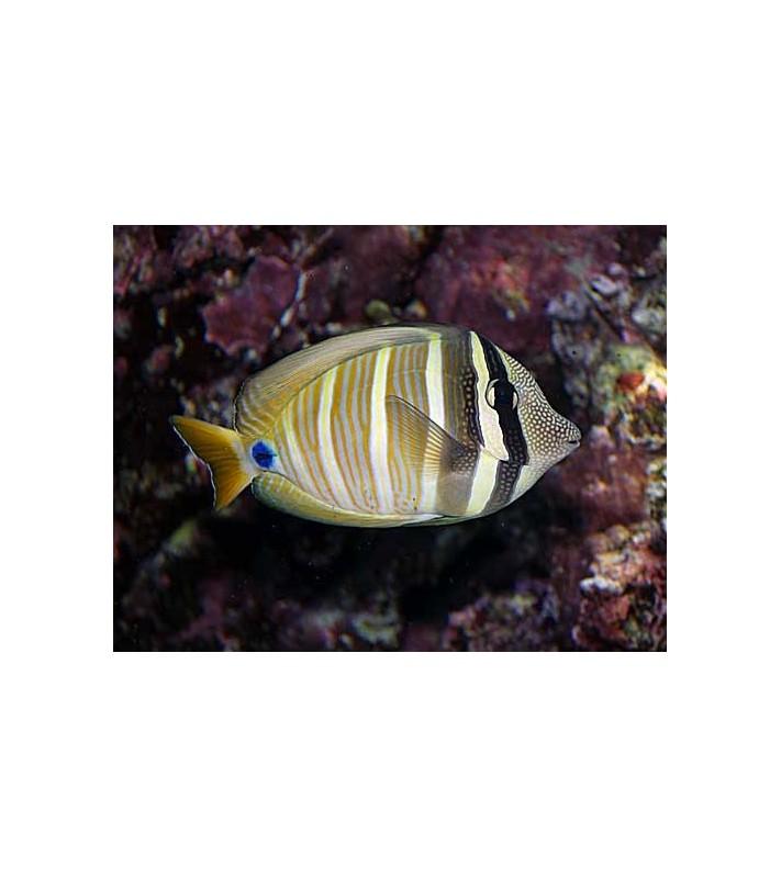 Zebrasoma veliferum