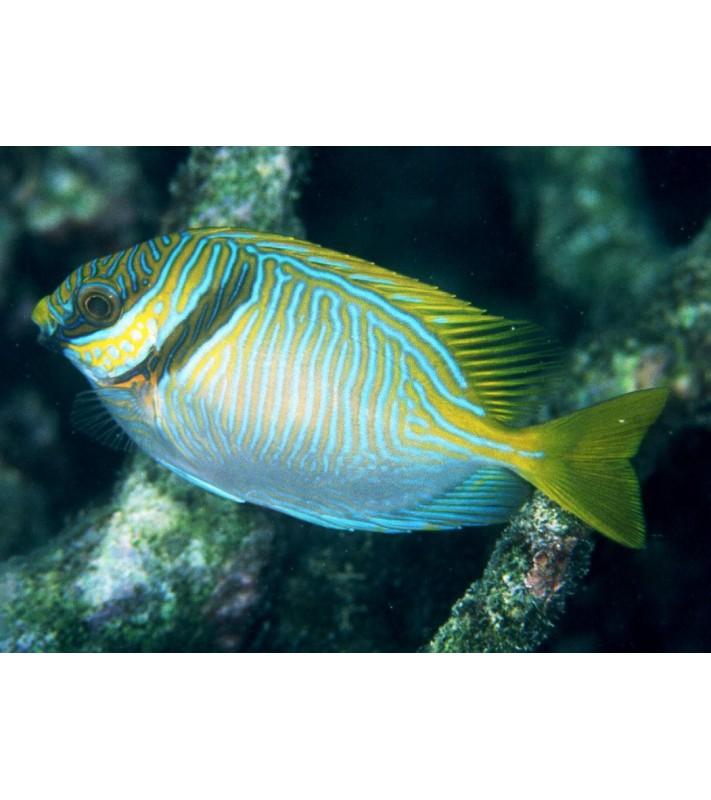 Siganus doliatus Fiji