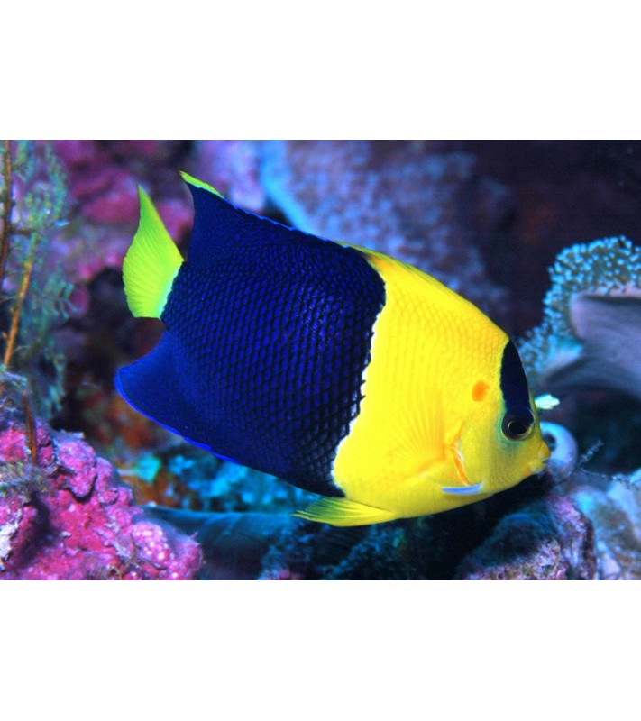 Centropyge bicolor Vanuatu
