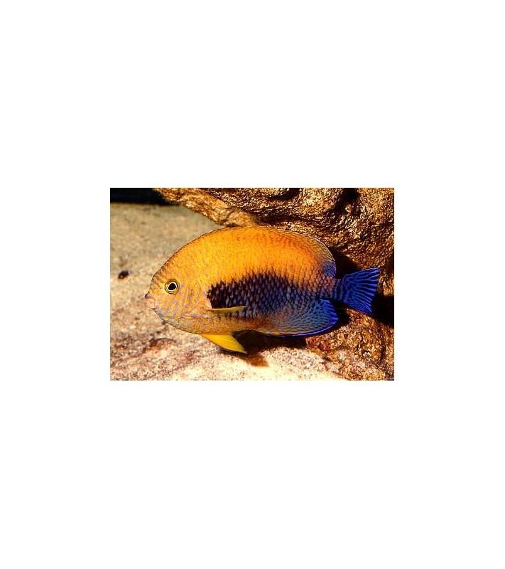 Centropyge fisheri