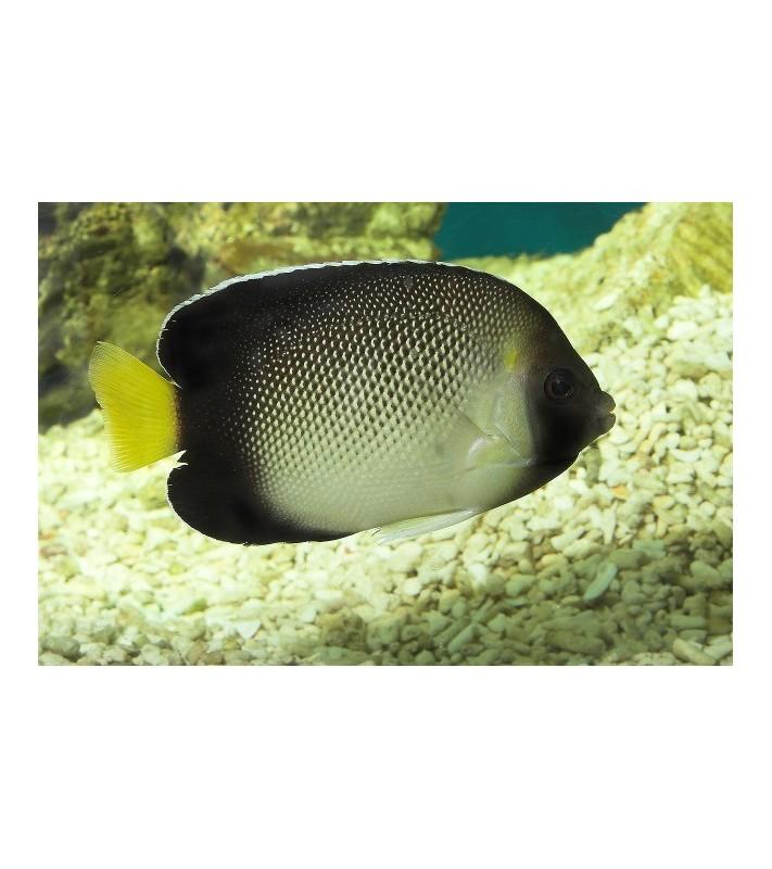 Apolemichthys xanthurus