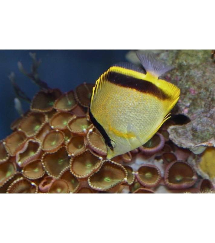 Prognathodes marcellae