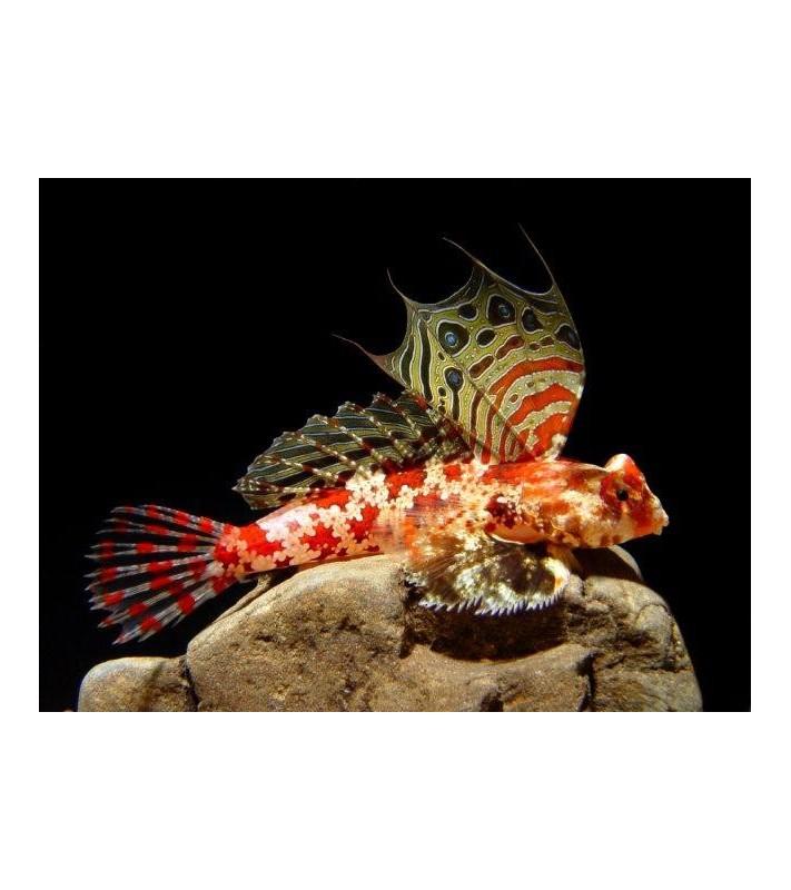 Synchiropus stellatus red