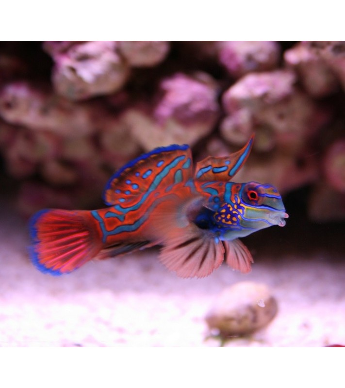 Pterosynchiropus splendidus red