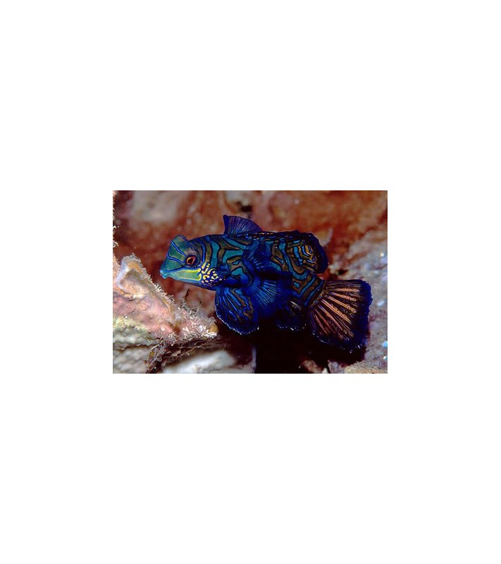 Pterosynchiropus splendidus blue