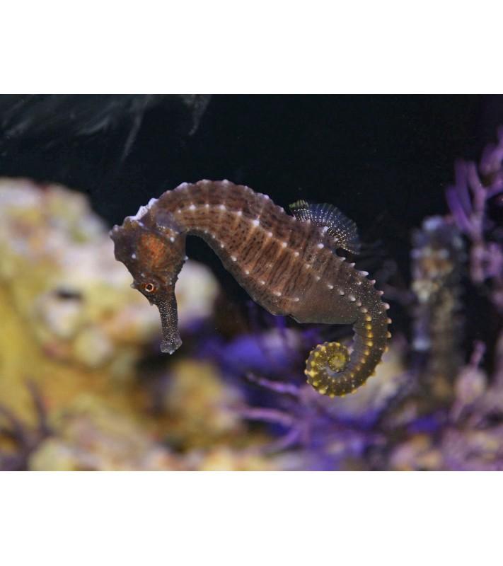 Hippocampus erectus