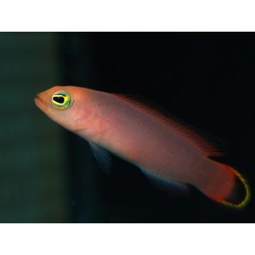 Pseudochromis elongatus