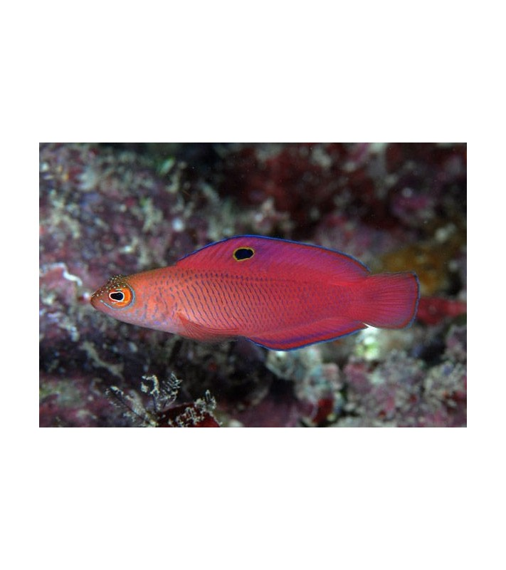 Cypho purpurascens